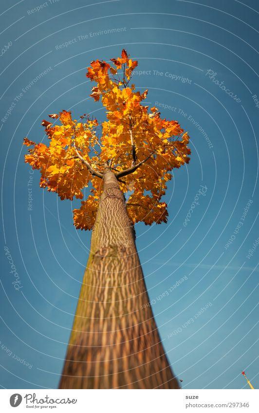 Größenwahn Umwelt Natur Pflanze Himmel Wolkenloser Himmel Herbst Klima Wetter Schönes Wetter Baum ästhetisch groß hoch schön Spitze blau herbstlich Herbstbeginn