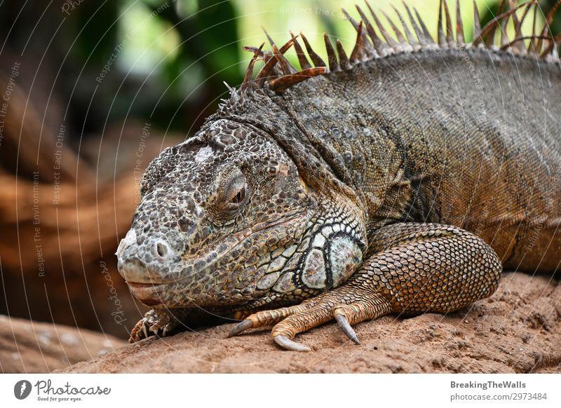 Nahaufnahme eines Porträts von grünen Leguanen, die auf Felsen ruhen. Erholung Natur Tier Tiergesicht Zoo 1 Stein hell Seite Tierwelt Leguanidae Reptil