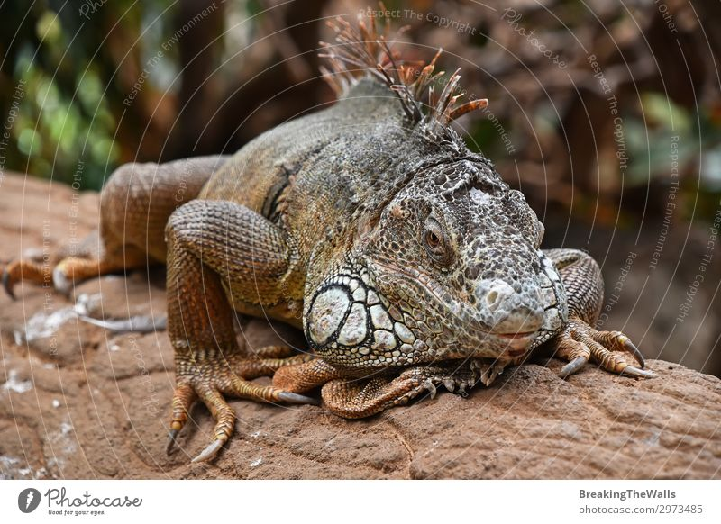 Nahaufnahme eines Porträts von grünen Leguanen, die auf Felsen ruhen. Erholung Natur Tier Wildtier Tiergesicht Zoo 1 Stein hell Seite Tierwelt Leguanidae Reptil
