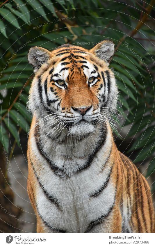 Nahaufnahme des sibirischen Amur-Tigers Natur Baum Wald Tier Wildtier Katze Tiergesicht Zoo 1 wild grün amur jung Panthera Tigris altaica Schnauze Tierwelt