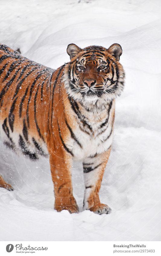 Nahaufnahme des sibirischen Tigers im Winterschnee Schnee Natur Wetter Tier Wildtier Tiergesicht Zoo 1 beobachten frisch wild weiß amur Höhe Aussicht Kopf
