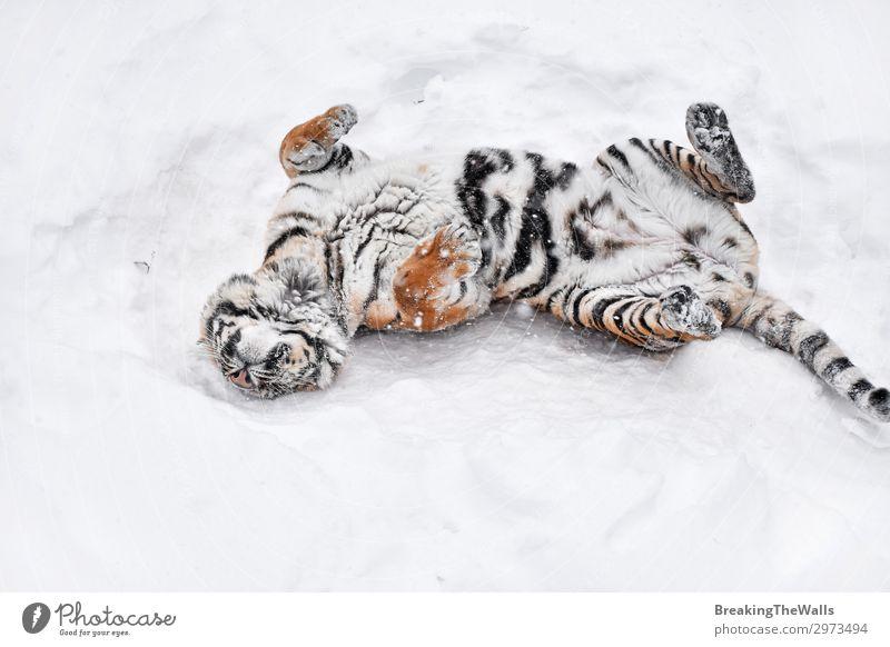 Sibirischer Tiger spielt im weißen Winterschnee Spielen Natur Wetter Schnee Tier Wildtier Zoo 1 frisch Sauberkeit wild sibirisch amur Mark ruhen spielerisch
