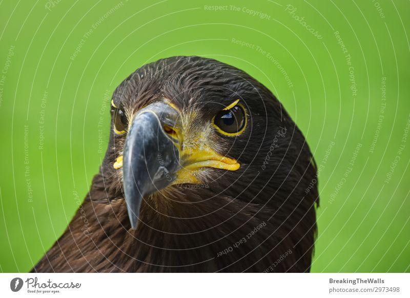 Nahaufnahme Vorderansicht des Steinadlers auf Grün Sommer Natur Gras Tier Wildtier Vogel Tiergesicht Zoo 1 beobachten dunkel wild braun grün Wachsamkeit Adler
