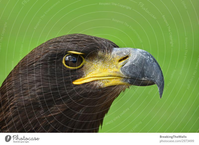 Nahaufnahme des Profilporträts des Steinadlers auf Grün Natur Gras Tier Vogel Tiergesicht Zoo 1 beobachten dunkel wild braun grün Wachsamkeit Adler Hintergrund