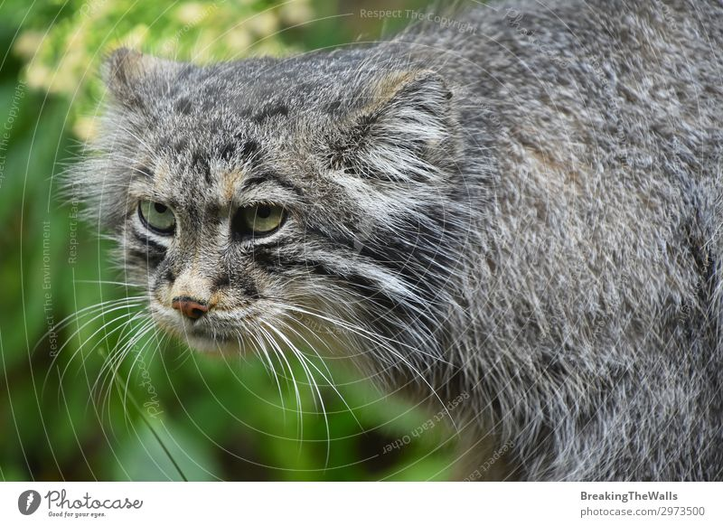 Nahaufnahme Porträt von manul Pallas Katze Natur Wald Tier Tiergesicht Zoo 1 Tierjunges dunkel hässlich niedlich wild grau grün Traurigkeit Ärger Aggression
