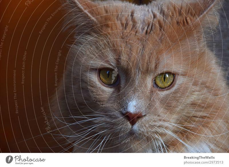 Nahaufnahme Porträt von Ingwer Hauskatze Tier Haustier Katze Tiergesicht 1 groß niedlich braun heimisch Hintergrund tiefstehend Winkel Aussicht Schnurrhaar