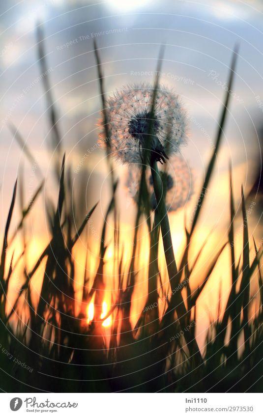 Abendstimmung Pflanze Sonnenaufgang Sonnenuntergang Frühling Schönes Wetter Löwenzahn Garten Park Wiese Feld blau gelb grau orange rosa rot schwarz Abendsonne