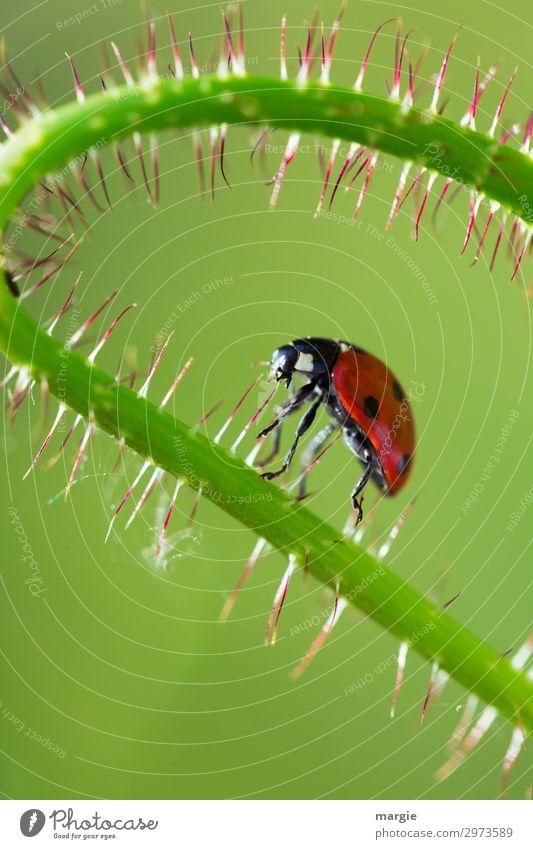Weiter geht`s! Umwelt Natur Pflanze Blume Blatt Grünpflanze Garten Park Tier Wildtier Käfer 1 grün rot gefährlich Abenteuer Mohn Marienkäfer laufen krabbeln