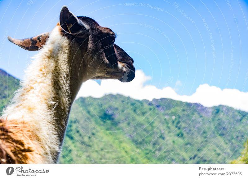 Dieses kleine Lama in den Ruinen von Machu Picchu. exotisch schön Ferien & Urlaub & Reisen Tourismus Berge u. Gebirge wandern Tier Denkmal Wege & Pfade alt