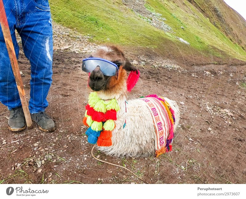 Blick auf ein lustiges Alpaka mit Sonnenbrille rund um den Rainbow Mountain Ferien & Urlaub & Reisen Tourismus Sommer Berge u. Gebirge Natur Landschaft Tier
