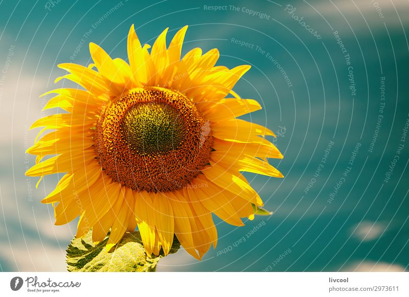 Sonnenblume im Sommer, Spanien Glück Natur Pflanze Wolken Blume Blatt Hügel Dorf authentisch Coolness Fröhlichkeit blau gelb orange Gefühle Zufriedenheit Feld