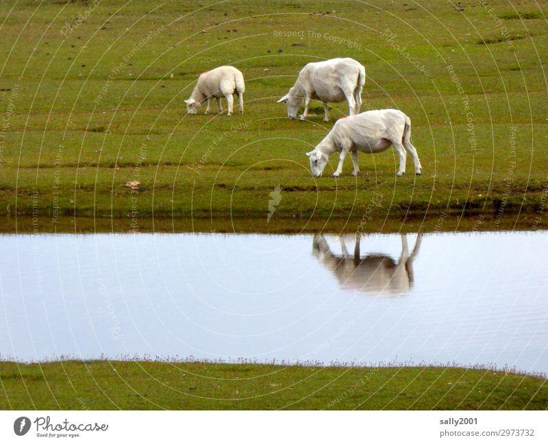 frisch geschoren... Schaf weiß Schafe Weide Wiese Gras Fluß Reflexion & Spiegelung fressen grasen Nutztier Tier Herde Tiergruppe Schafherde Landwirtschaft