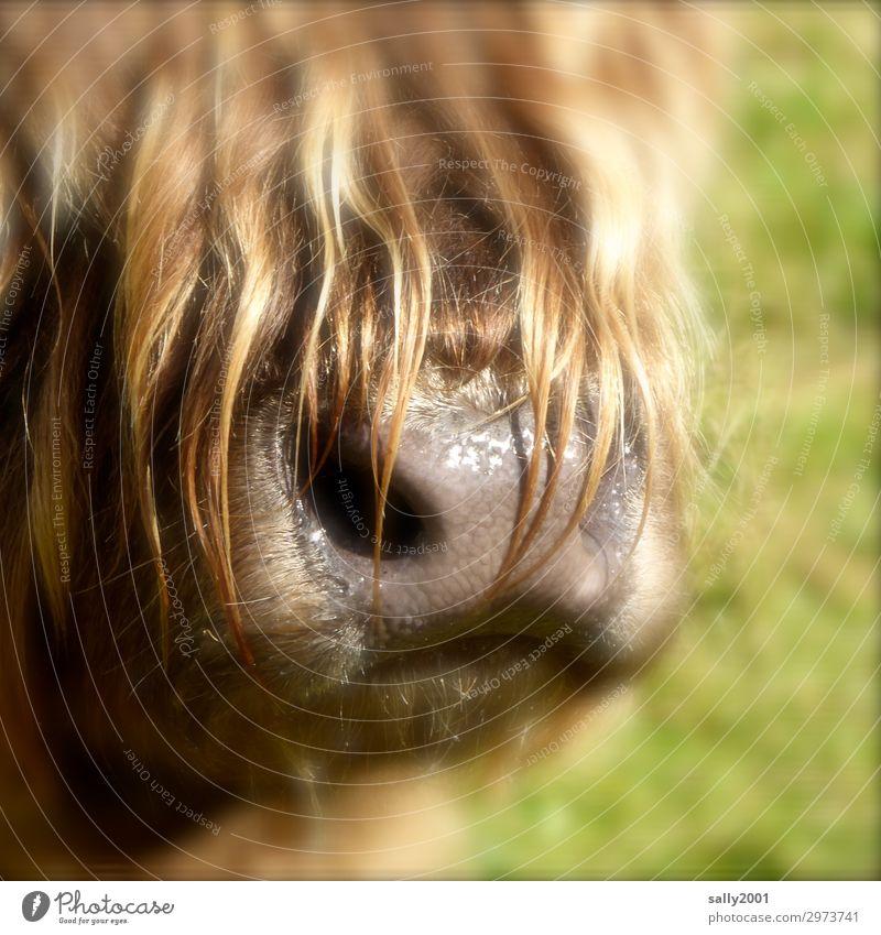 komm knutschen... Tier Nutztier Schnauze Nase Fell Schottisches Hochlandrind Kuh 1 nass Neugier weich braun Haare & Frisuren Pony sabbern Geruch Nüstern feucht