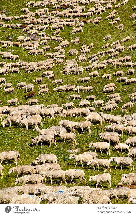 Das Lärmen der Lämmer Natur weiß Landschaft Tier Umwelt Berge u. Gebirge braun authentisch Tiergruppe Alpen Hügel Fell Schaf Nutztier Herde Schafherde