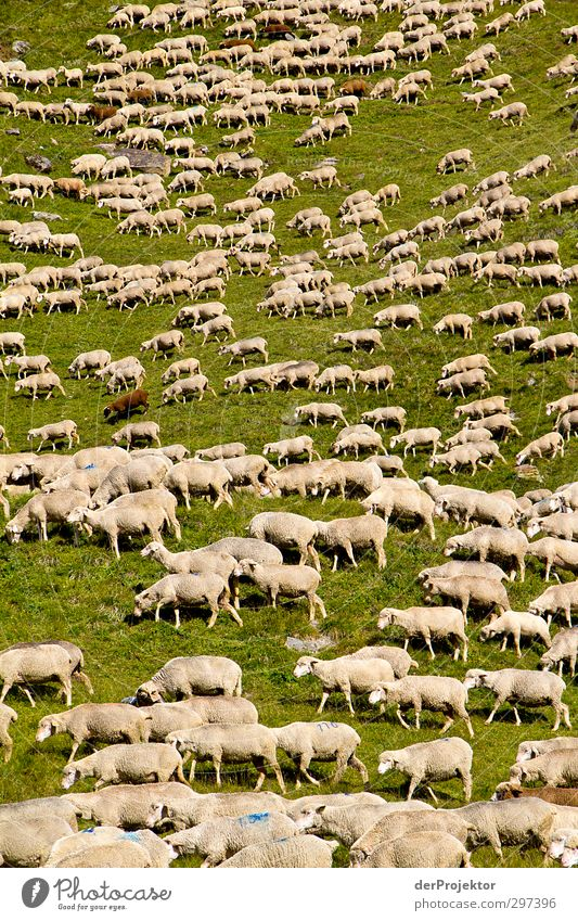 Das Lärmen der Lämmer Umwelt Natur Landschaft Tier Hügel Alpen Berge u. Gebirge Nutztier Fell Schaf Schafherde Schafswolle Schaffell Tiergruppe Herde