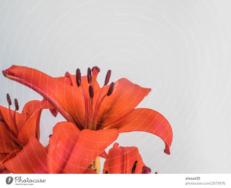 Vordergrund von rotem Llium auf weißem Hintergrund elegant schön Sommer Garten Feste & Feiern Natur Pflanze Blume Blatt Blüte Liebe frisch natürlich grün Farbe