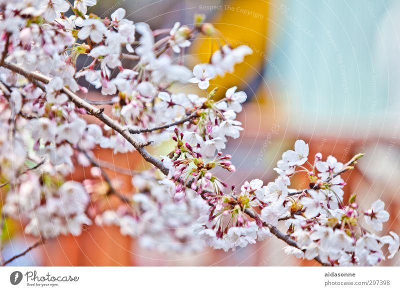 Kirschblüten Natur Pflanze Baum Erholung Blüte Garten Park Korea