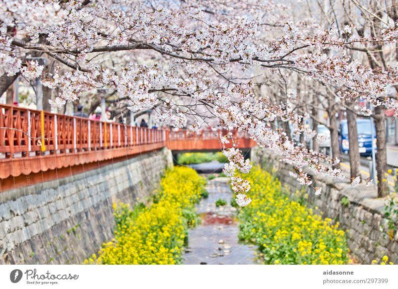 Kirschblüten Natur Pflanze Baum Frühling Blüte Garten Park Zufriedenheit Schönes Wetter Frühlingsgefühle Korea