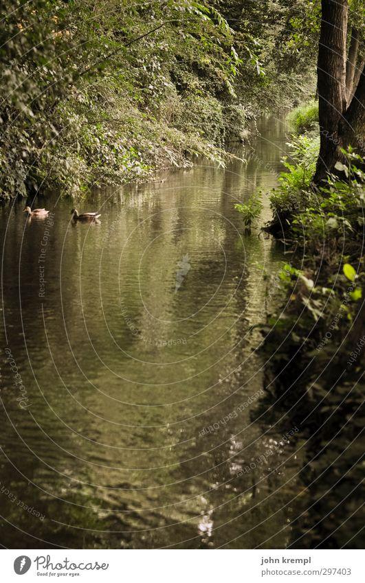 Lausitzer Dschungel Umwelt Natur Erde Wasser Sommer Baum Park Urwald Flussufer Bach Ente 2 Tier Wachstum positiv braun grün Lebensfreude Optimismus Romantik