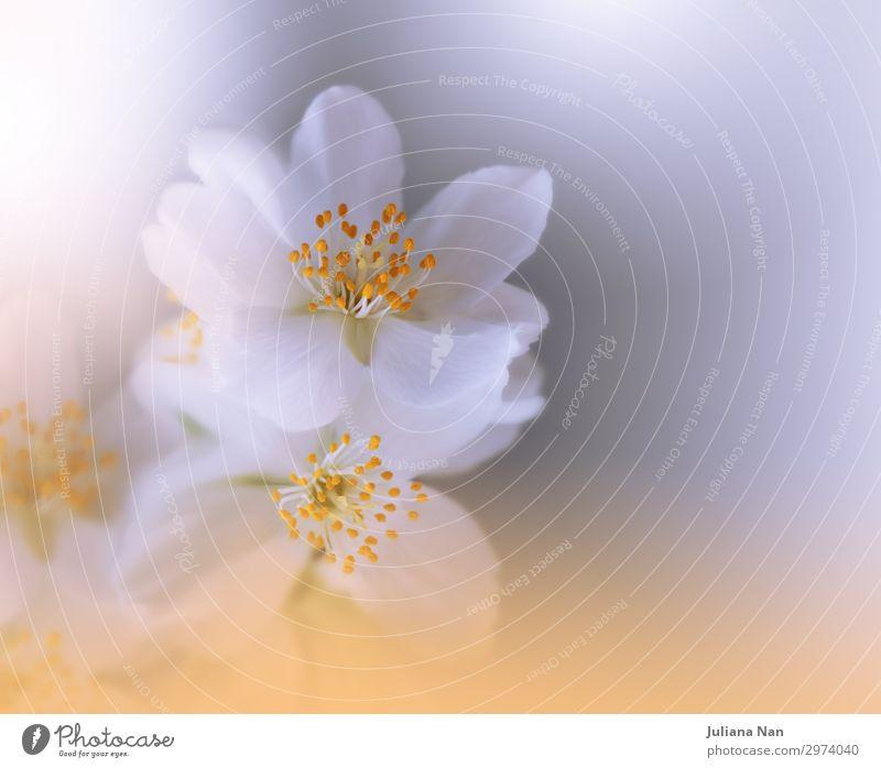 Orange Natur Makrofotografie.Blumenkunst Design.Jasmin. Lifestyle Reichtum elegant Stil exotisch Parfum Kunst Kunstwerk Umwelt Pflanze Grünpflanze Blühend Duft