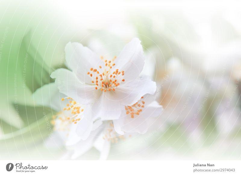 Grüne Natur Makrofotografie.Blumenkunst Design.Jasmin. Lifestyle Reichtum elegant Stil Parfum Kunst Kunstwerk Umwelt Pflanze Blühend Duft Feste & Feiern Liebe