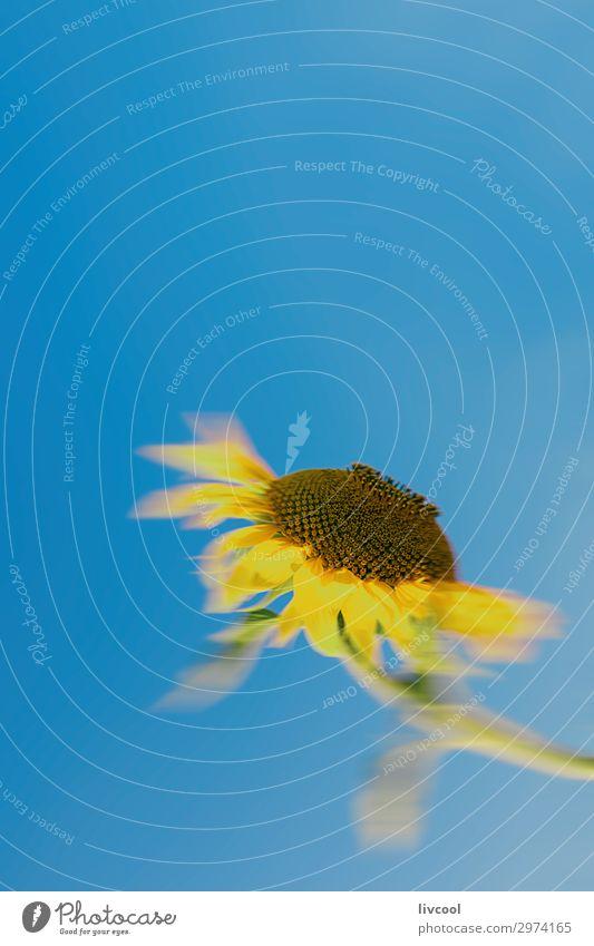 ungerichtete Sonnenblume mit Blick auf die Sonne Glück Sommer Natur Pflanze Urelemente Himmel Blume Blatt Feld Dorf authentisch Coolness schön blau gelb Gefühle