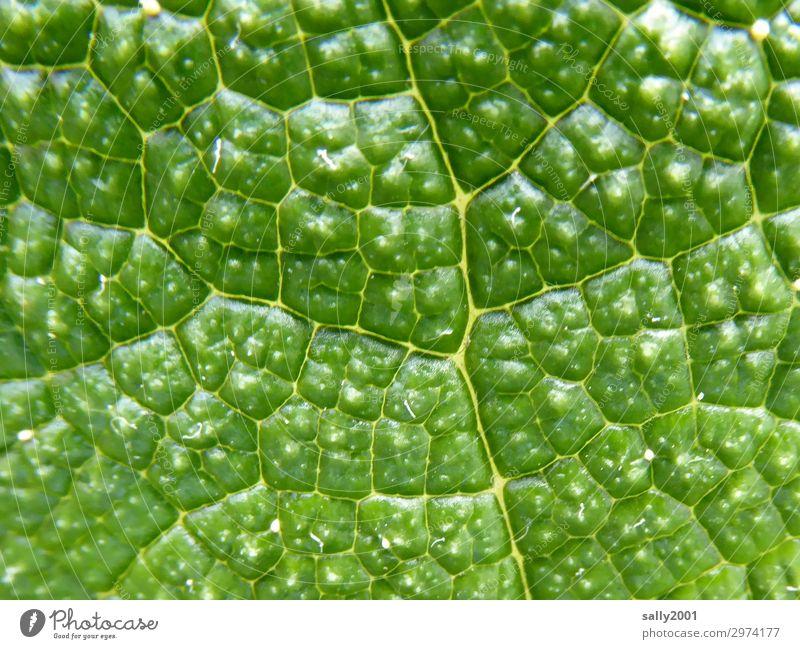 Zellstruktur... Pflanze Blatt einzigartig natürlich grün Natur Überleben Photosynthese Zellteilung Blattadern Wachstum Strukturen & Formen Farbfoto