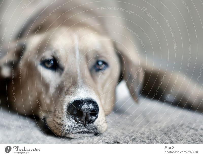 Schnauze Haustier Hund 1 Tier liegen Gefühle Gelassenheit geduldig ruhig Müdigkeit Hundeschnauze Hundeblick Farbfoto Gedeckte Farben Nahaufnahme Menschenleer