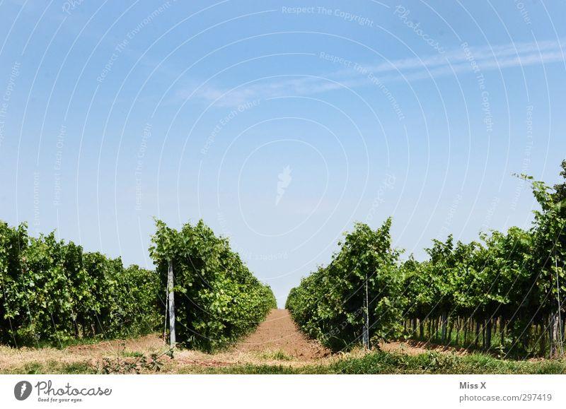 Weinberg Lebensmittel Frucht Ernährung Erde Sommer Herbst Schönes Wetter Pflanze Nutzpflanze Feld Hügel Wachstum Weintrauben Farbfoto mehrfarbig Außenaufnahme