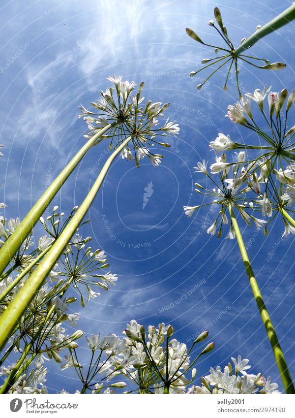 luftig | ...und duftig... Pflanze Himmel Sommer Schönes Wetter Blume schmucklilie agapanthus Blühend ästhetisch Duft weiß Natur schön leicht Leichtigkeit hoch