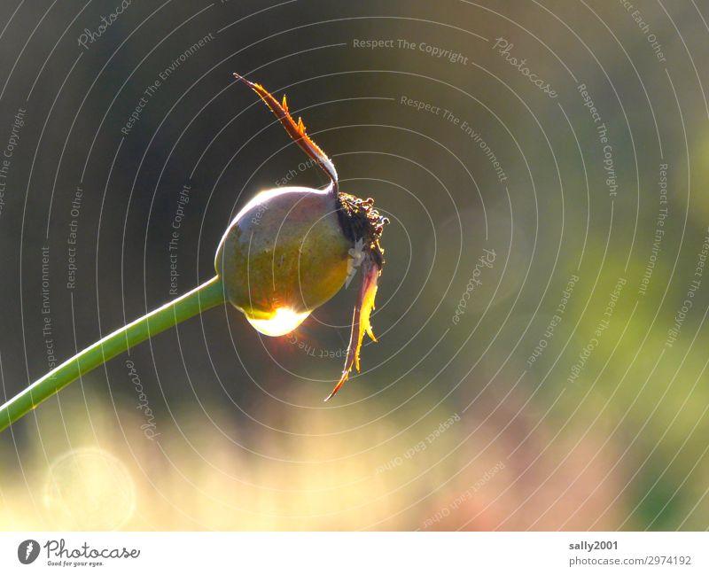 Herbstimpression... Pflanze Rose Hagebutten verblüht Hoffnung Natur rein Vergänglichkeit Samen Wassertropfen Tau Farbfoto Außenaufnahme Menschenleer Tag