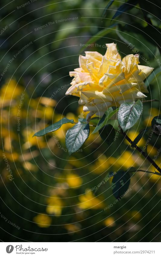 Gelbe Rose Umwelt Natur Pflanze Tier Schönes Wetter Blume Sträucher Blatt Blüte Grünpflanze Garten Park gelb grün schön verblüht Rosenblätter Rosenblüte Liebe