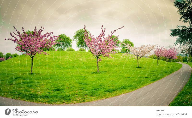 Kirschblütenkurve Himmel Natur grün Pflanze Baum Landschaft Wolken Umwelt Wiese Wärme Straße Frühling Wege & Pfade grau Garten Park