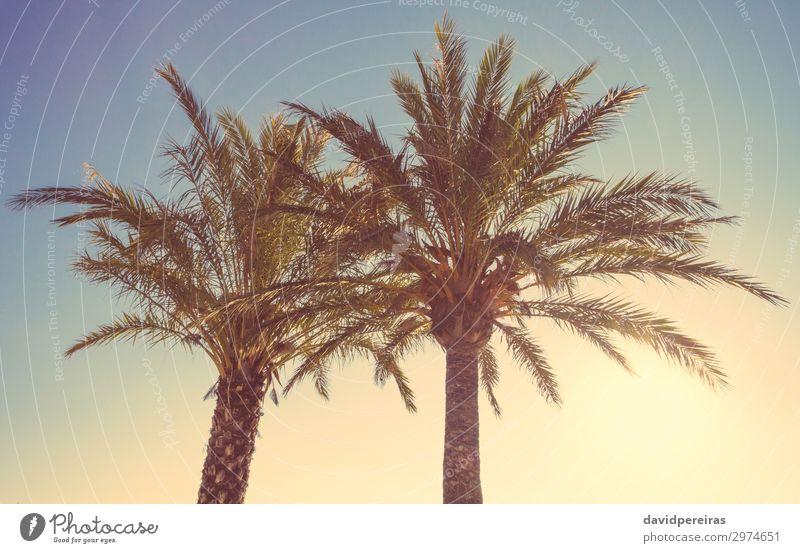 Palmen in einem warmen Sonnenuntergang im Sommer exotisch schön Erholung Ferien & Urlaub & Reisen Tourismus Strand Meer Insel Natur Landschaft Pflanze Himmel