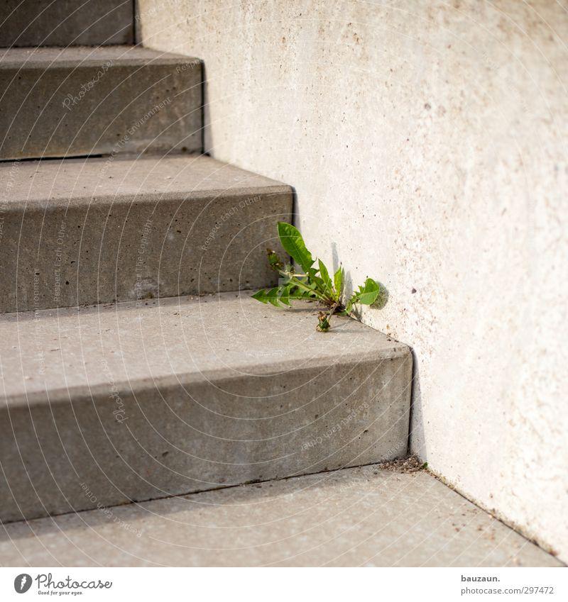 unkraut vergeht nicht. Garten Umwelt Natur Pflanze Blume Blatt Blüte Unkraut Park Mauer Wand Treppe Wege & Pfade Beton Linie Blühend entdecken dehydrieren eckig