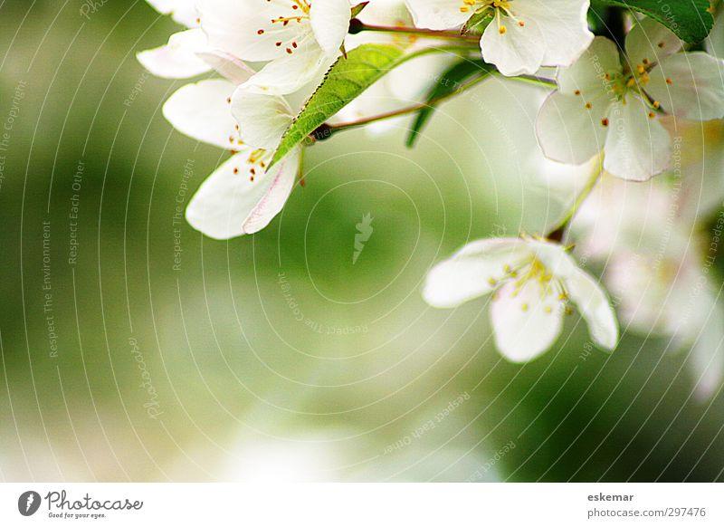 Frühling! Natur grün schön weiß Pflanze Baum Blüte hell natürlich authentisch Schönes Wetter frisch Beginn ästhetisch einfach