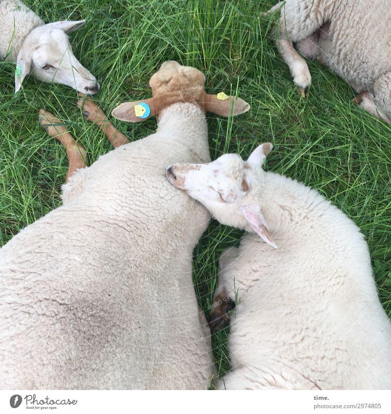 Feierabend Schönes Wetter Wiese Tier Nutztier Fell Schaf 4 Erholung genießen liegen Gefühle Leidenschaft Vertrauen Sicherheit Schutz Geborgenheit Sympathie