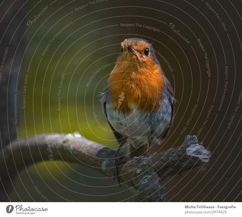 Rotkehlchen im Abendlicht Natur grün Baum Erholung Tier schwarz gelb Auge natürlich orange Vogel leuchten glänzend Wildtier stehen Feder