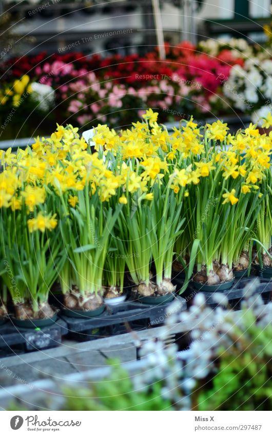 Wochenmarkt Frühling Pflanze Blume Blatt Blüte Blühend Duft gelb Gelbe Narzisse Frühblüher Blumenstrauß Blumenhändler Narzissen Farbfoto mehrfarbig