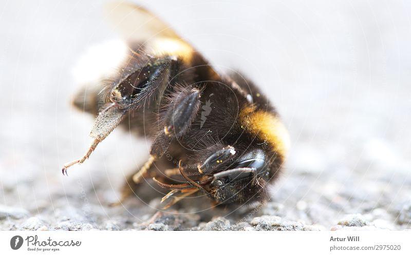 Ausgesummt Natur Sonne Sonnenlicht Sommer Tier Totes Tier Biene Tiergesicht Flügel 1 Tierliebe Mitgefühl achtsam Traurigkeit Trauer Tod Appetit & Hunger Durst