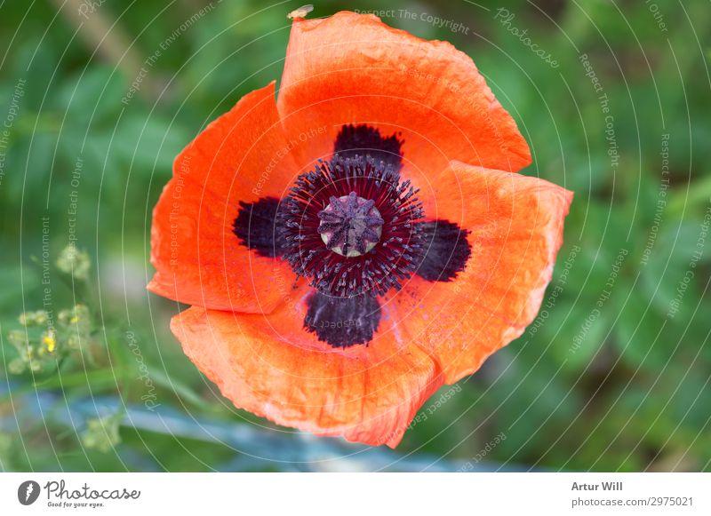 Mohnblume Umwelt Natur Pflanze Sommer Schönes Wetter Blume Blüte Wildpflanze Mohnblüte Garten Park Wiese Feld Glück schön rot Freude Fröhlichkeit