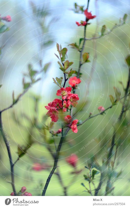 Frühling Pflanze rot Blatt Frühling Blüte Garten rosa Wachstum Sträucher Blühend Duft Blütenknospen Gartenpflanzen