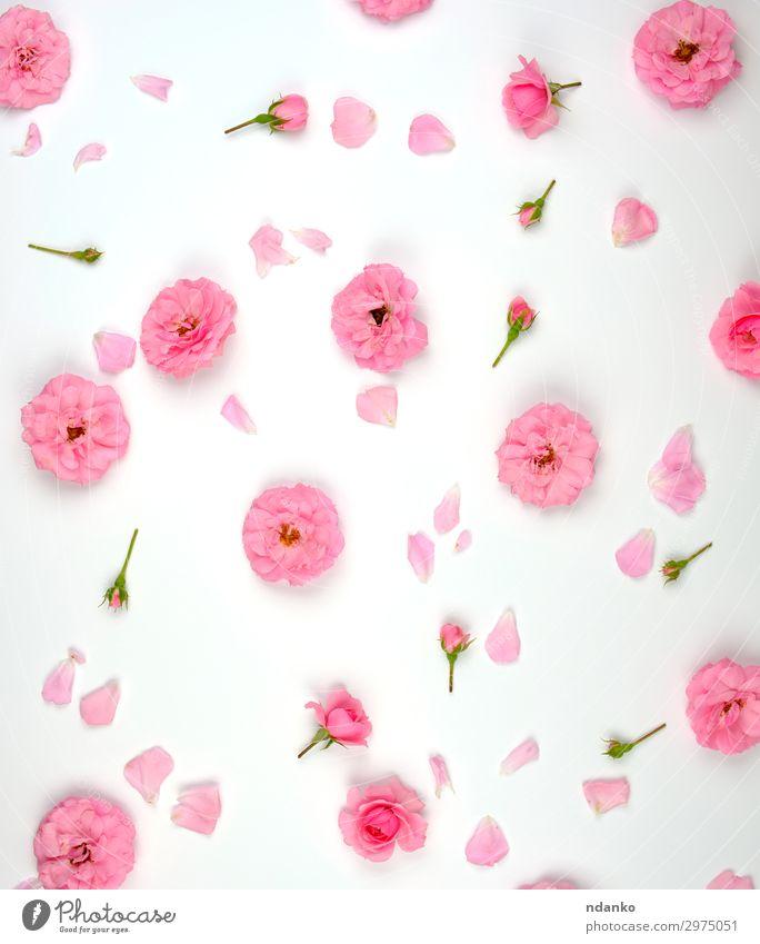 blühende Knospen von rosa Rosen Design schön Sommer Dekoration & Verzierung Feste & Feiern Hochzeit Kunst Natur Pflanze Blume Blüte frisch klein natürlich weiß