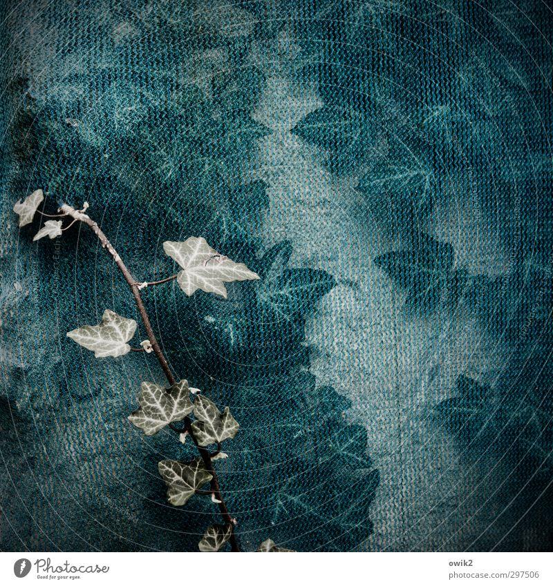 Kunst am Bau Natur Pflanze Wildpflanze Efeu Ranke Mauer Wand Abdeckung Wachstum außergewöhnlich nah natürlich blau geduldig Rechtschaffenheit geheimnisvoll