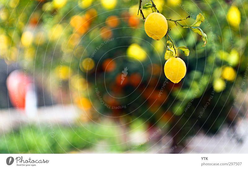 Citrus Garden V Umwelt Natur Pflanze Sonne Sommer Schönes Wetter Baum Gras Sträucher Garten Park Blühend Zitrone Orange Orangenbaum Orangenhain Zitrusfrüchte