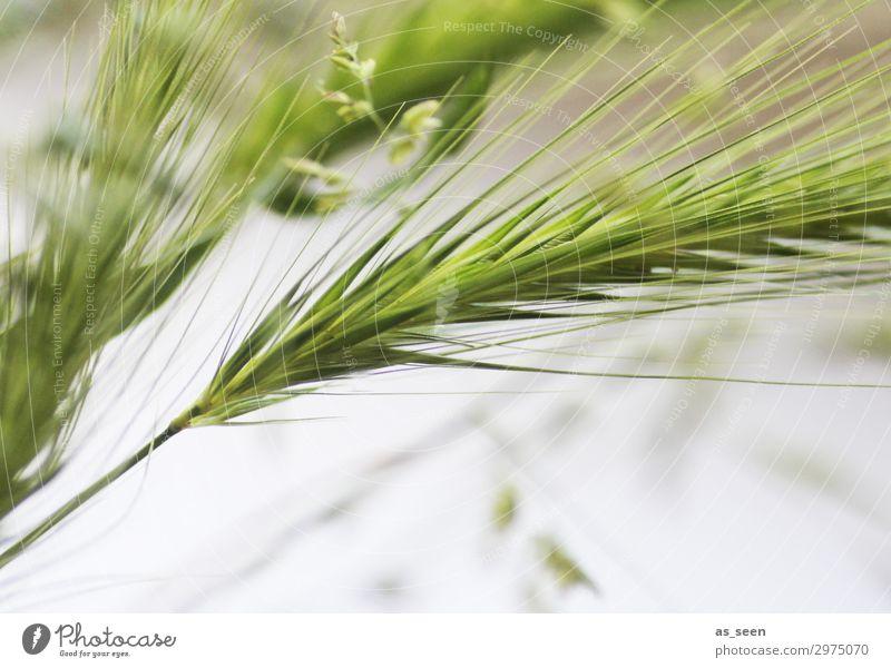 Gräser Gesundheit harmonisch Sommer Natur Pflanze Gras Getreide Granne berühren Bewegung authentisch elegant Freundlichkeit frisch nah modern grün weiß