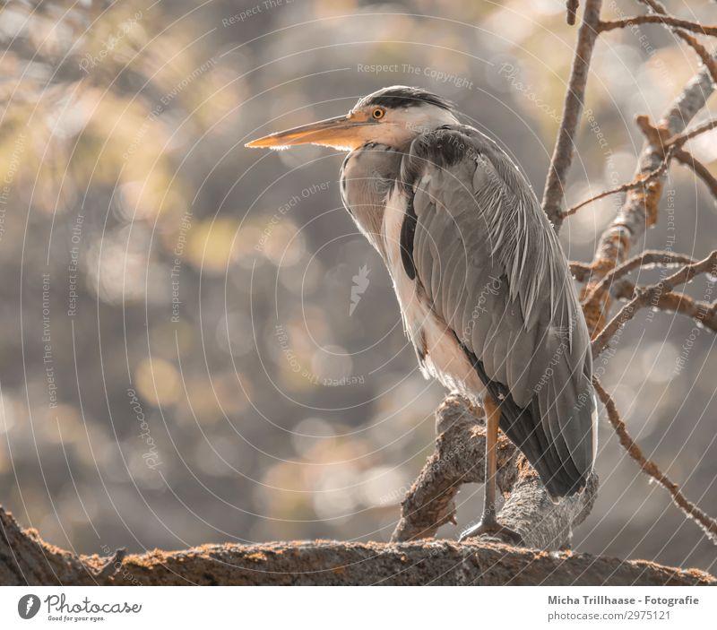 Fischreiher im sonnigen Baum Himmel Natur weiß Sonne Erholung Tier schwarz gelb Auge orange Vogel grau glänzend Wildtier Feder