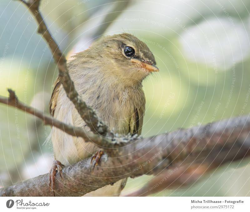 Junger Fitis schaut neugierig Himmel Natur blau grün Baum Tier schwarz Tierjunges gelb Auge lustig orange Vogel Kopf sitzen Feder