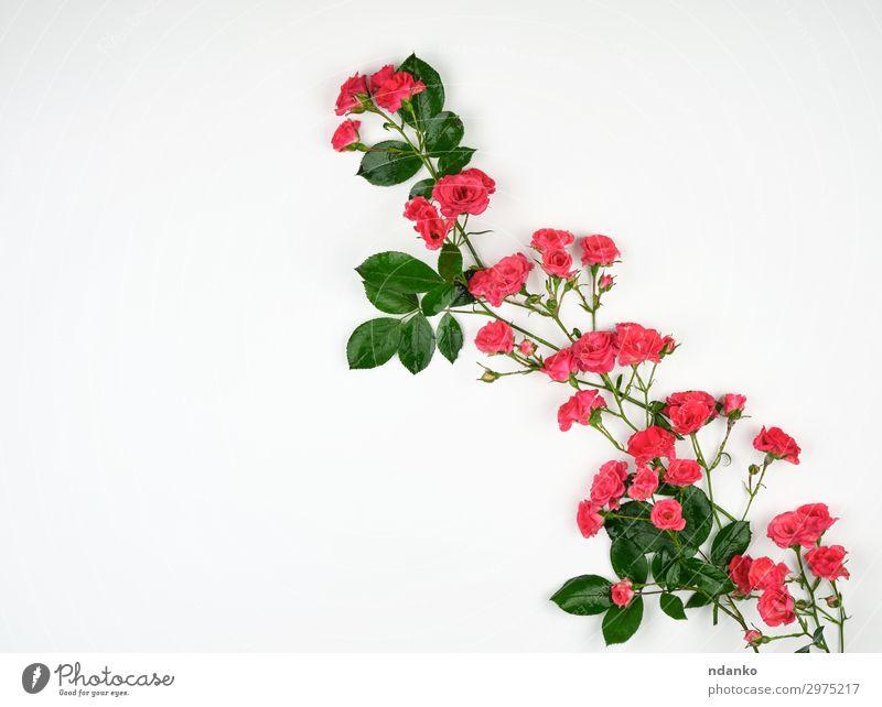 blühende Knospen von rosa Rosen und grünen Blättern Design schön Sommer Dekoration & Verzierung Feste & Feiern Hochzeit Natur Pflanze Blume Blüte Blühend frisch