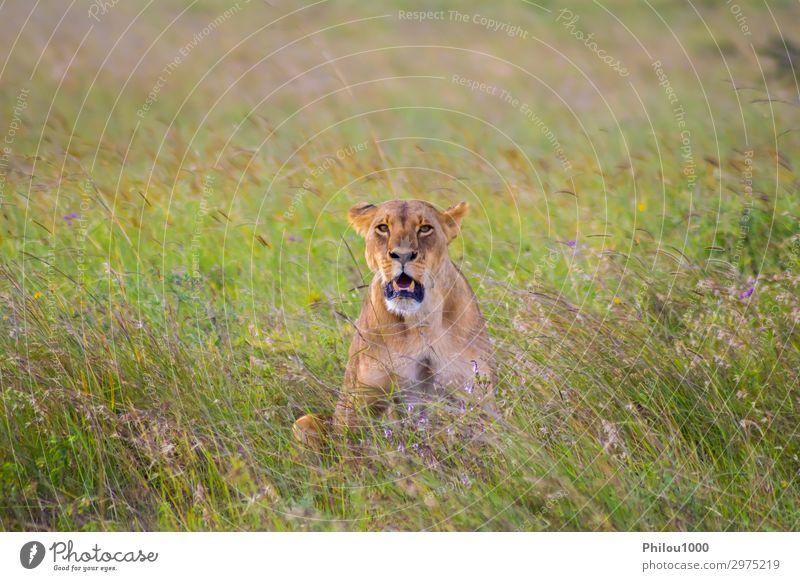 Löwin in der Savanne sitzend Gesicht Ferien & Urlaub & Reisen Frau Erwachsene Natur Tier Park Katze natürlich wild gelb gefährlich Afrika Afrikanisch